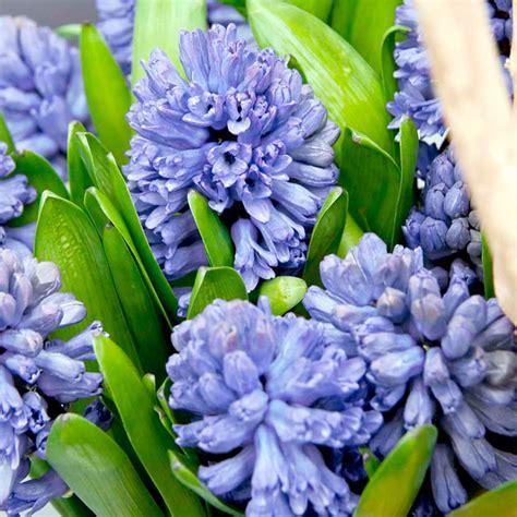 hyacinth bulbs indoor delft blue dobies