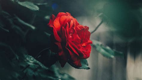 Download Wallpaper 1920x1080 Rose, Red, Bud, Bush, Garden
