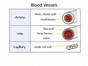 2 65 Describe The Structure Of Arteries  Veins And
