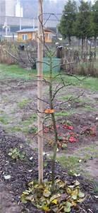 Wann Apfelbaum Pflanzen : statt thuja oder kirschlorbeer warum nicht einen ~ Lizthompson.info Haus und Dekorationen