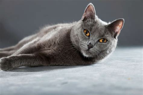 Chartreux Breed Information And Photos