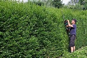 Schnell Wachsender Busch : schnell wachsende hecken als sichtschutz ~ Lizthompson.info Haus und Dekorationen