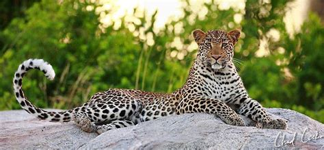 love  leopards africa geographic