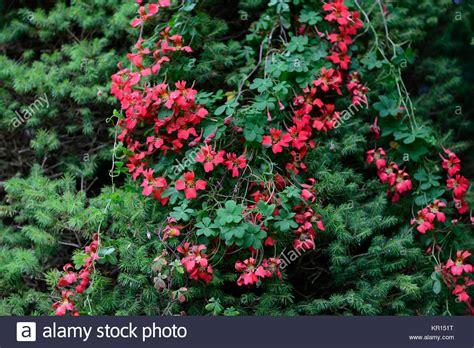 Tropaeolum Speciosum,flame Stock Photo 169056324 Alamy