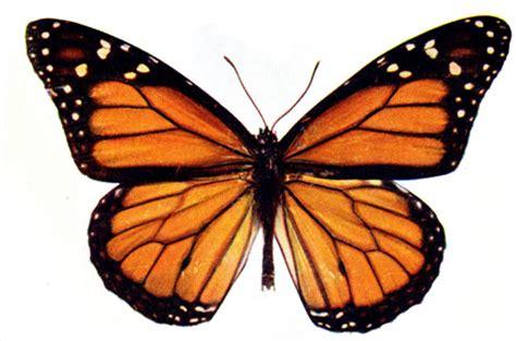 milkweed mania monarch butterfly