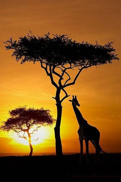 Safari Sunset Kenya Africa Animals African Mara