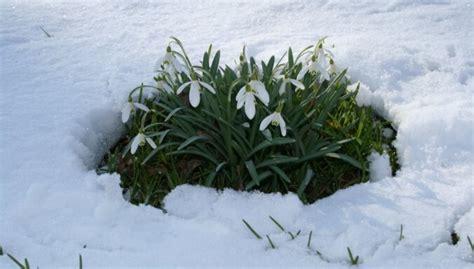 Sniegpulkstenīšu sīpols par simtiem eiro? Guna Rukšāne stāsta par pavasara vēstnešu audzēšanu ...