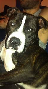 Go Dogs Go Staffy X Bullmastiff Great Dog Tamworth Staffordshire