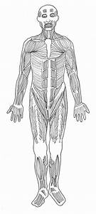Muscles Of The Body Blank Diagram