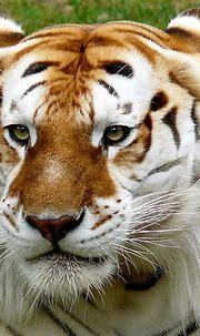 Beautiful Unusual Golden Tabby Tiger - XciteFun.net
