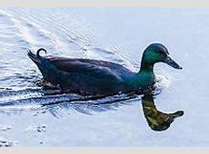 Cayuga duck Wikipedia
