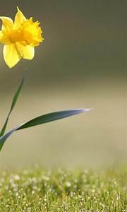 Download Daffodil Flower Ultra HD Wallpaper for desktop