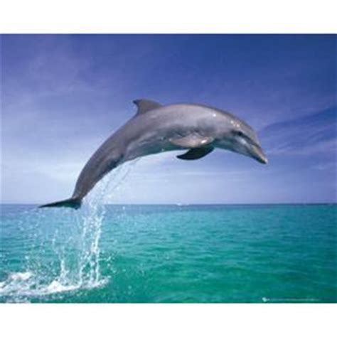 poster dauphin achat vente poster dauphin pas cher