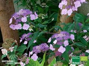 Hortensie Als Zimmerpflanze : hydrangea serrata oamacha japanische tee hortensie bioland ~ Lizthompson.info Haus und Dekorationen