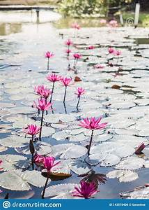 Beautiful Group Of Blooming Lotus Flowers Or Water Lily