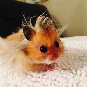 Baby Syrian hamster | Cutest animals ever | Pinterest ...