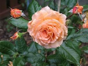 Wann Schneidet Man Rosen Zurück : strauchrose 39 belvedere 39 rosa 39 belvedere 39 baumschule horstmann ~ Orissabook.com Haus und Dekorationen
