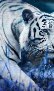 White Tiger Blue Clouds HD Wallpaper | Background Image ...