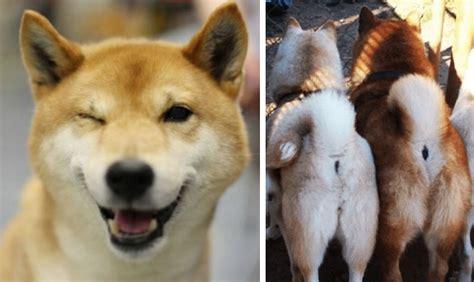 reasons   dog bootys  bow   shiba