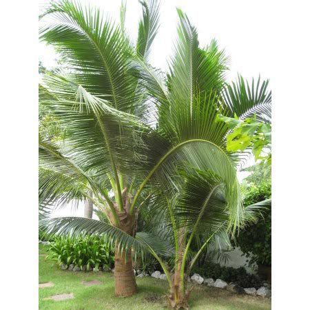 Muda da Palmeira Wedeliana - Safari Garden