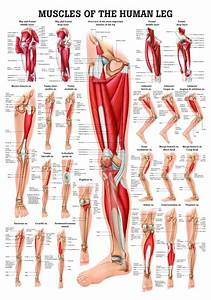 Human Muscles Of The Leg Poster