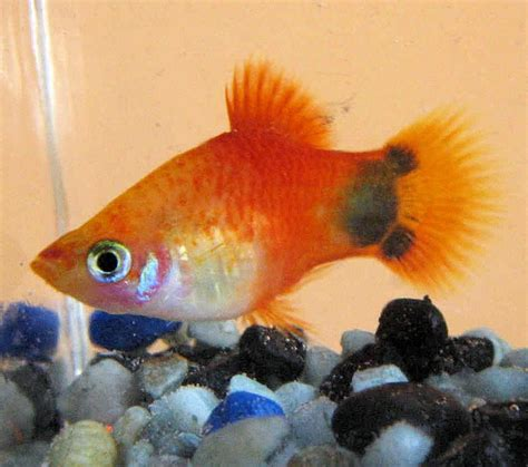 mickey mouse fish the mickey mouse platy fish as a pet