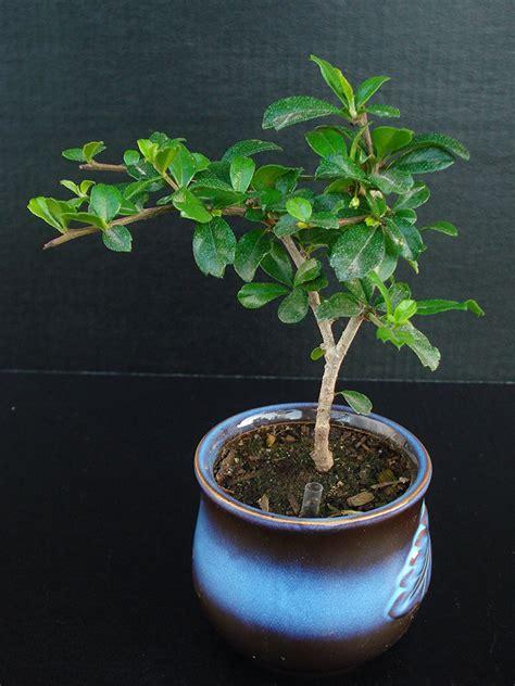 indoor bonsai tree  beginners decor ideas