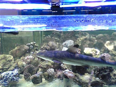 poisson requin d aquarium 28 images poissons barbus