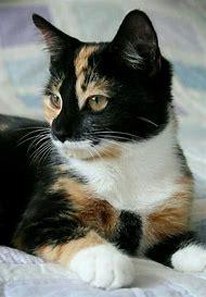 Beautiful Calico Cat Kittens