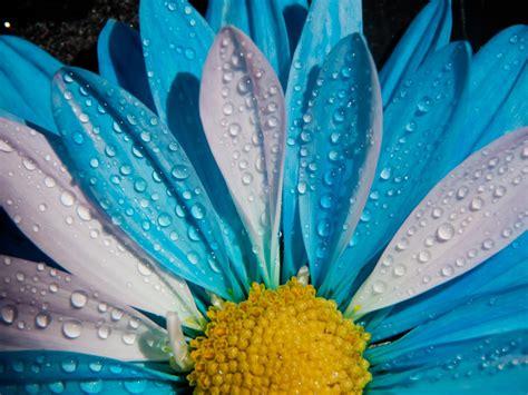 picture  blue  white chrysanthemum flower  close