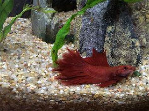 combattant qui reste au fond de l aquarium forum poissons