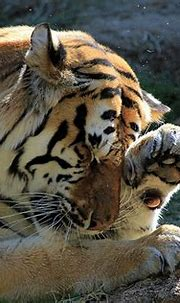 Bengal Tiger rubs eye | There's something in my eye ...
