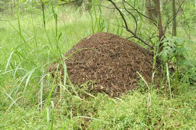 Ameisenhaufen Im Garten  So Entfernen Sie Ihn Richtig