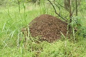 Ameisen Entfernen Garten : ameisenhaufen im garten so entfernen sie ihn richtig ~ Lizthompson.info Haus und Dekorationen