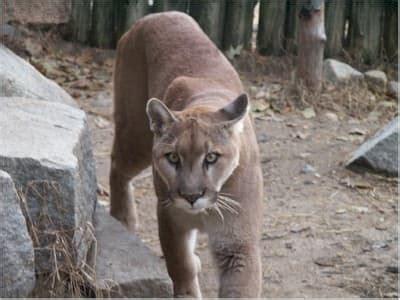 mountain lion wildlife maine wildlife park maine dept