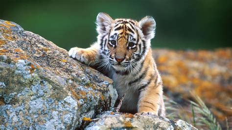 Baby Animals Wallpaper - baby animals wallpapers