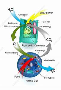 Cellular Respiration  Plants And Animals