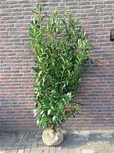 Arbuste Pour Haie Pas Cher : laurier du caucase 80 100 cm prunus caucasica arbustes pour haies pas cher ~ Nature-et-papiers.com Idées de Décoration