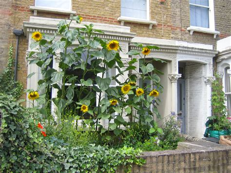 can i grow sunflowers in pots how to grow sunflowers the garden