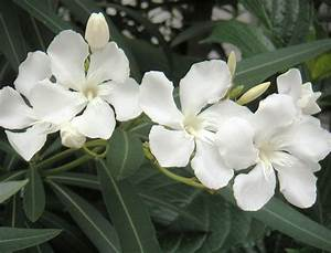 Oleander Tree Poison Or Medicine