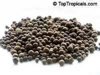 pimenta dioica allspice jamaica pepper pimento tree
