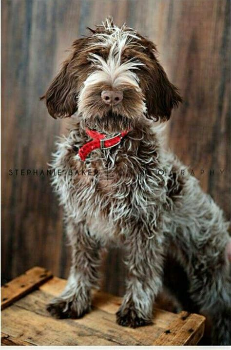 wirehaired pointing griffon shed 25 best ideas about wirehaired pointing griffon on