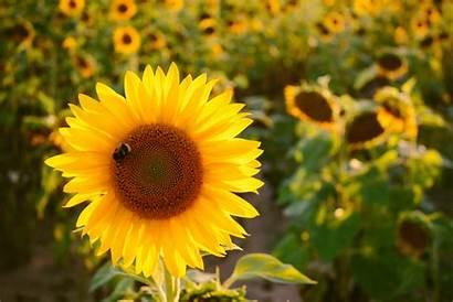 Sunflowers Bee Pexels Bloom