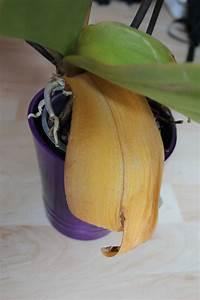 Hortensien Blätter Werden Braun : orchideen haben gelbe bl tter was tun ~ Lizthompson.info Haus und Dekorationen