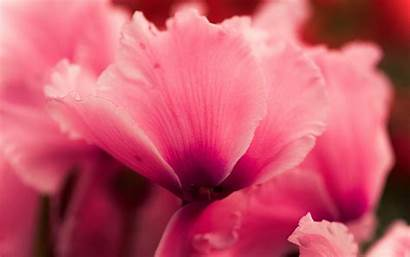 Flower Petals Pink Cyclamen Close Flowers Resolution