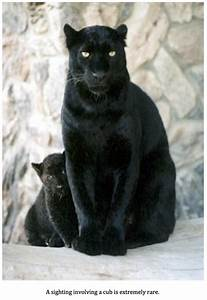 Texas Cryptid H... Black Panther