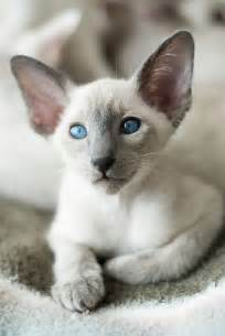 Siamese Cats with Big Ears