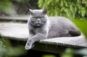 common cat breeds the uk s most popular cat breeds in 2017 pets4homes