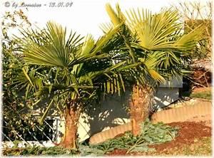 Palmen Für Den Garten : erfahrungen mit winterharten palmen mein sch ner garten forum ~ Sanjose-hotels-ca.com Haus und Dekorationen