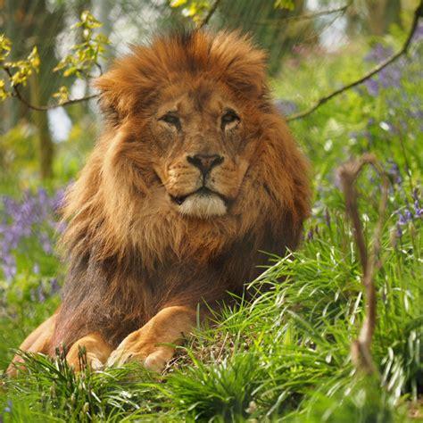 animals lions zoo dartmoor mammals bought